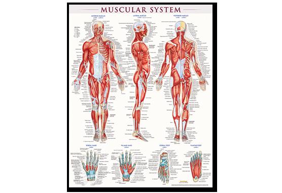muscular-poster