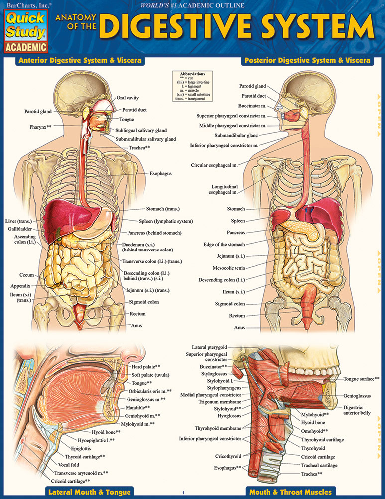 Anatomy-of-the-Digestive-System